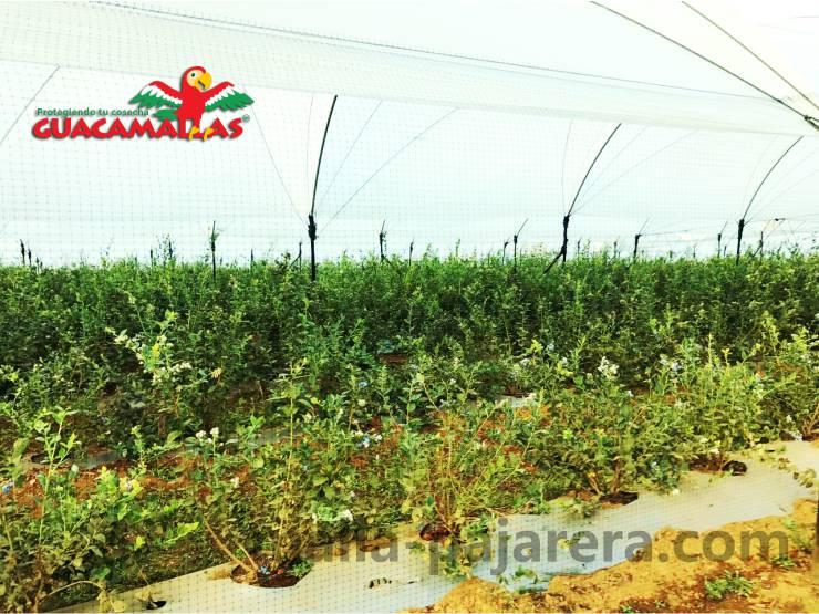 Cultivo de arándano en macrotunel con malla pajarera para control de aves