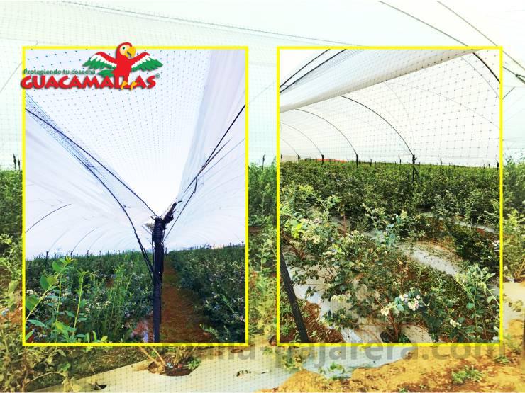 Cultivo de arándano con malla pajarera para el control de aves