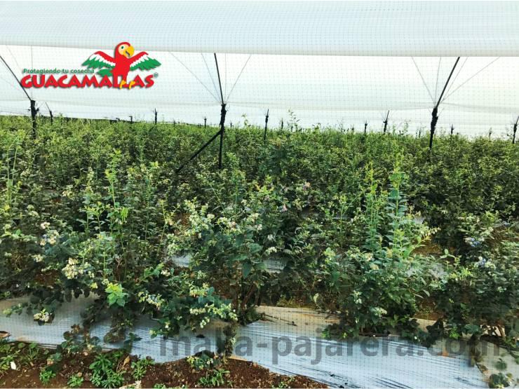 Malla pajarera protegiendo de aves cultivo de berries en invernadero